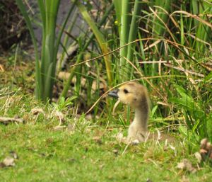 Gosling Hiding in the Grass