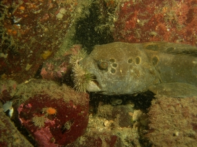 Wolf Eel with urchins in mouth