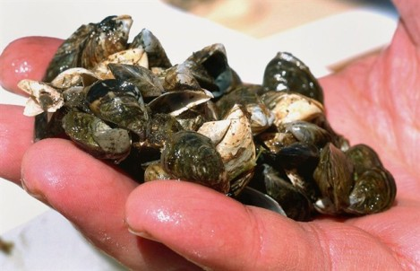 A cluster of zebra mussels that were taken from Lake Michigan off Suttons Bay, Mich. is shown in a May 3, 2007 file photo.